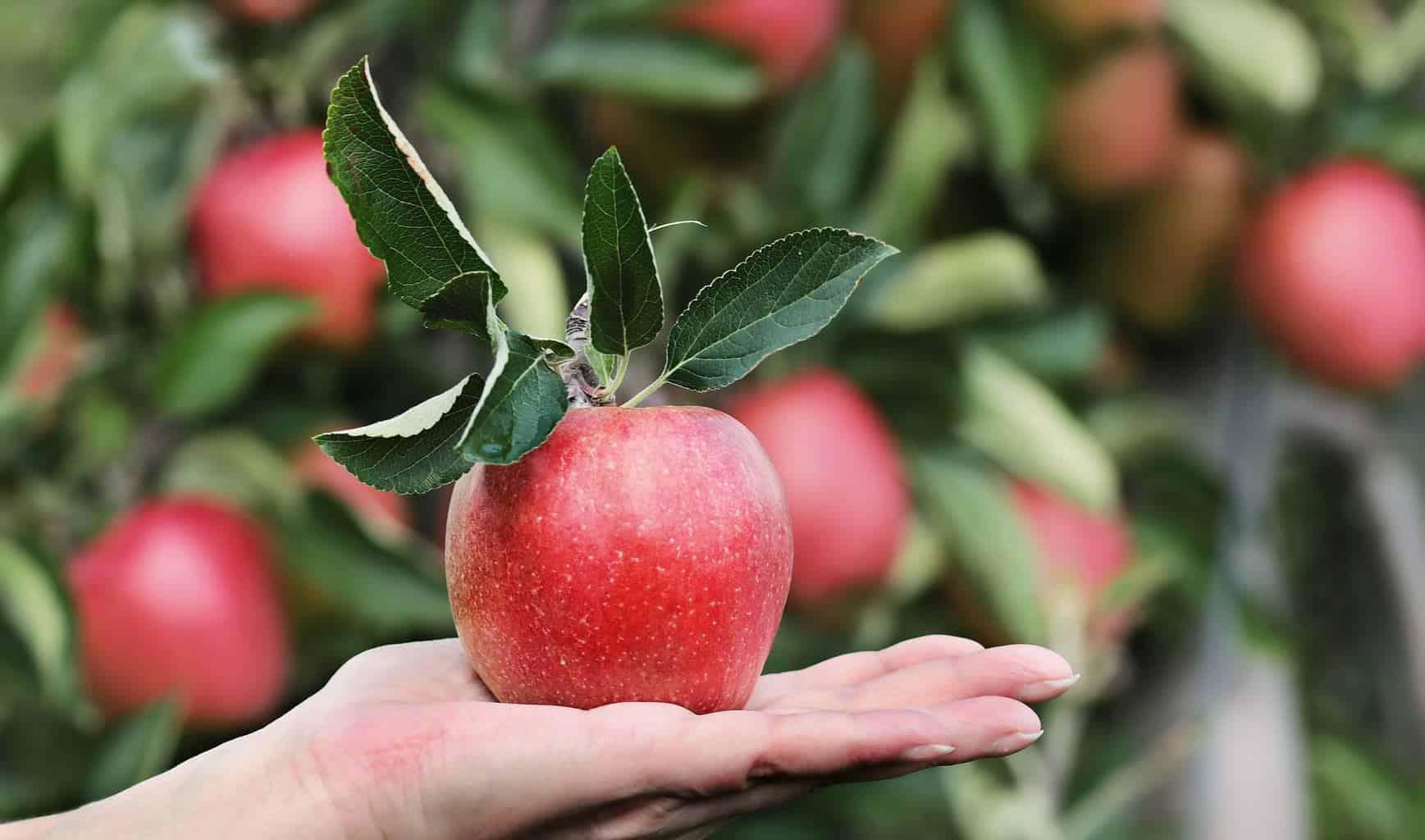 A juicy delicious red apple